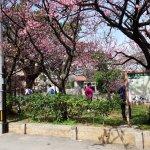 2月には牧志駅付近の緋寒桜も満開♪