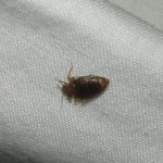 bedbug photographed at night in Ashanti Hostel