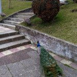 Pavos en El Parque de Ferrol
