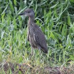 Juvenile yellow-crowned night heron.