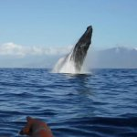 Magnificent humpback whale breaching just off the bow. That is our guide's hand in the foregroun