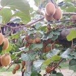 There is a kiwi fruit farm at Kiwi Cove Lodge
