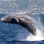 Humpback Whale breaching, photographed July 2016