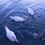 cisnes y patos del lago principal