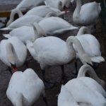 around hundred swans can swim up
