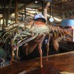 Giant caribbean lobster