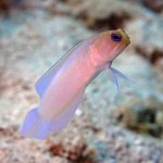 Yellow Head Jawfish hover in the sandy shallows