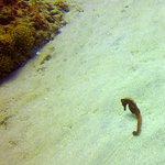 Schwangeres Seepferchen