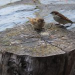A couple of sparrows enjoying some sugar lol