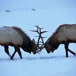 National Elk Refuge Foto