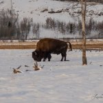 The magestic wood bison. Love these creatures!