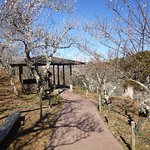 Walking around Shuzenji Feb 7, 2017 -- Plum trees partial bloom