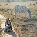 Another roadblock with a baby Zebra