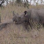 Black Rhinos in Nairobi National Park