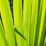 Palm Frond in our garden