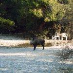 wild boar in millipark watch your pick nick