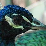 free-roaming peacock