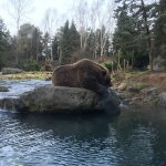 The mighty brown (grizzly) bear.