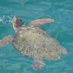 Schilkröten kommen zum Luftholen oft nach oben
