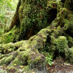 Moos and fern covered roots