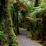 Giant ferns along the track