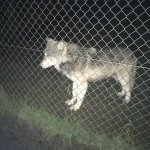 Wolf at the UK Wolf Conservation Trust
