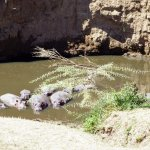 Hippos in the river below the bar terrace