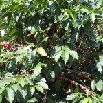 Berries growing