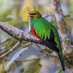 This is a Golden-Headed Quetzal. We were setting and having one one the best dinners/luch I had