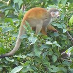 Red squirrel monkey by the bar