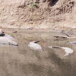 Crocodiles in the river