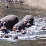 A hippo family