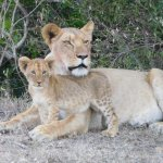 The resident lioness with one cub