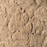 wolf track in Lamar valley