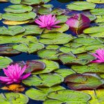 lily pads in summer