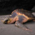The loggerhead turtle's rescue