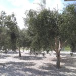 olive trees at the front