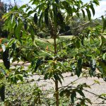 Coffee tree at Karen Blixen House