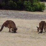 Kangaroos along the trails