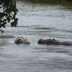 Hippos in river below the bar/dining area