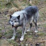 Enclos des loups noirs
