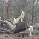 Sérénade des loups blancs