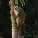 Monkey on a tree by the pool