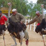 Racing ostriches