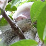 Believe it or not this is a young sloth. In a small tree in the hotel grounds.