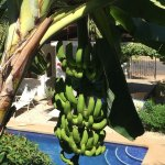 Bananas.. not yet ripe but give it time