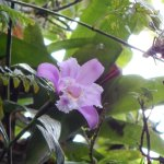 Orchid and critter in Mombacho canopy