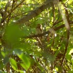 Tiny owl called in by guide on caldera tour.