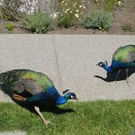 peacocks crossing over