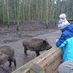 Watching the boars being fed